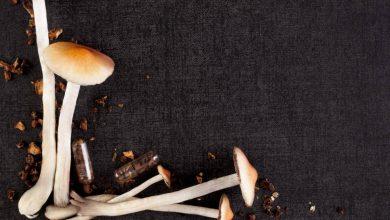 magic-mushrooms-390x220 قارچ های جادویی، مواد شیمایی توهم زا را برای اینکه توسط حشرات خورده نشوند تولید می کنند جالب ترین ها دانستنی های علمی دانش و فناوری سرگرمی   وردنگار