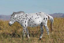 spotted-horse-220x150 منشاء اسرارآمیز اسب های اهلی به وسیله تجزیه و تحلیل دی ان ای به دست آمد دنیای حیوانات سرگرمی   وردنگار