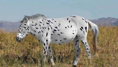 spotted-horse-390x220 منشاء اسرارآمیز اسب های اهلی به وسیله تجزیه و تحلیل دی ان ای به دست آمد دنیای حیوانات سرگرمی   وردنگار