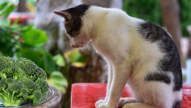 cancatseatbroccoli-390x220 آیا گربه ها می توانند کلم بروکلی بخورند؟ دنیای حیوانات سرگرمی   وردنگار